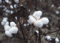 Cotton has been an important crop in global trade for millenia.